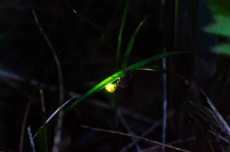 Фото светлячка