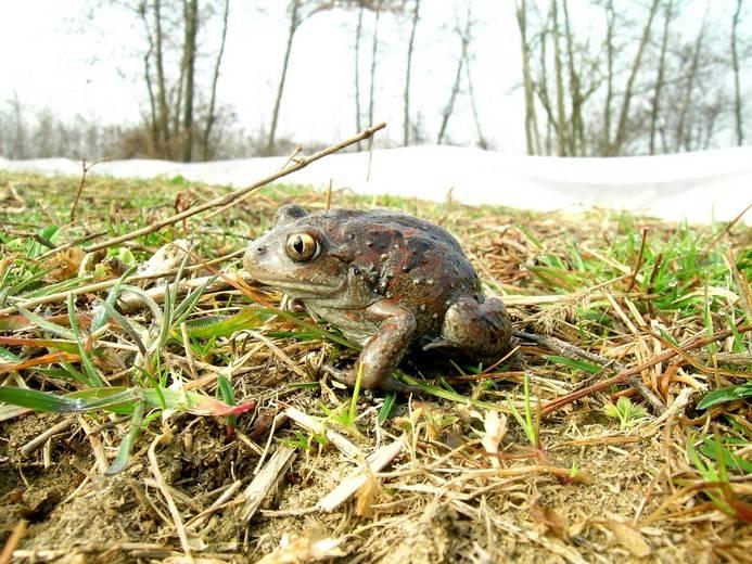Лягушка чесночница фото