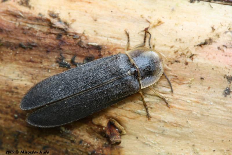 Обыкновенный светляк (большой светляк, иванов червячок) самец фото (лат. Lampyris noctiluca)