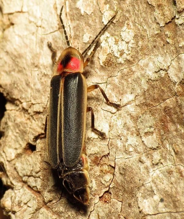 Обычный восточный светлячок (огненный фотинус) фото (лат. Photinus pyralis)