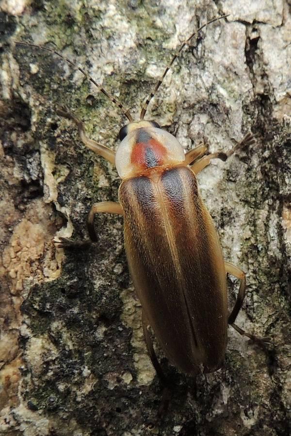Пенсильванский светлячок фото (лат. Photuris pennsylvanica)