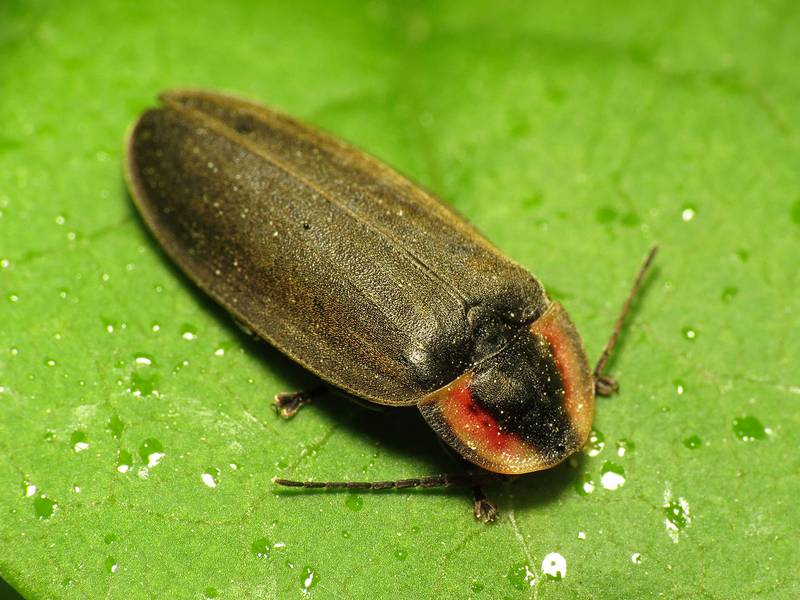 Светляк Ellychnia corrusca фото