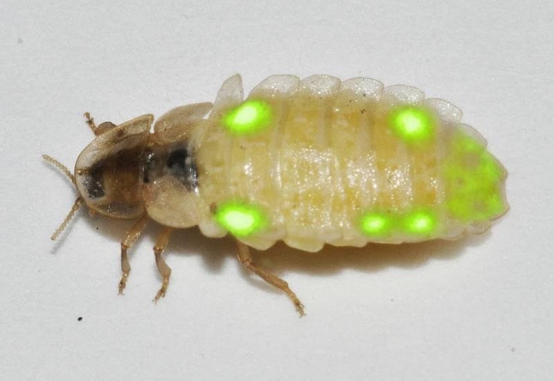 Свечение светлячка Lamprohiza splendidula фото