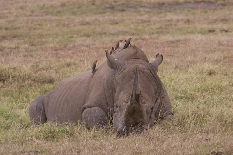 Буйволовы скворцы на спине носорога фото