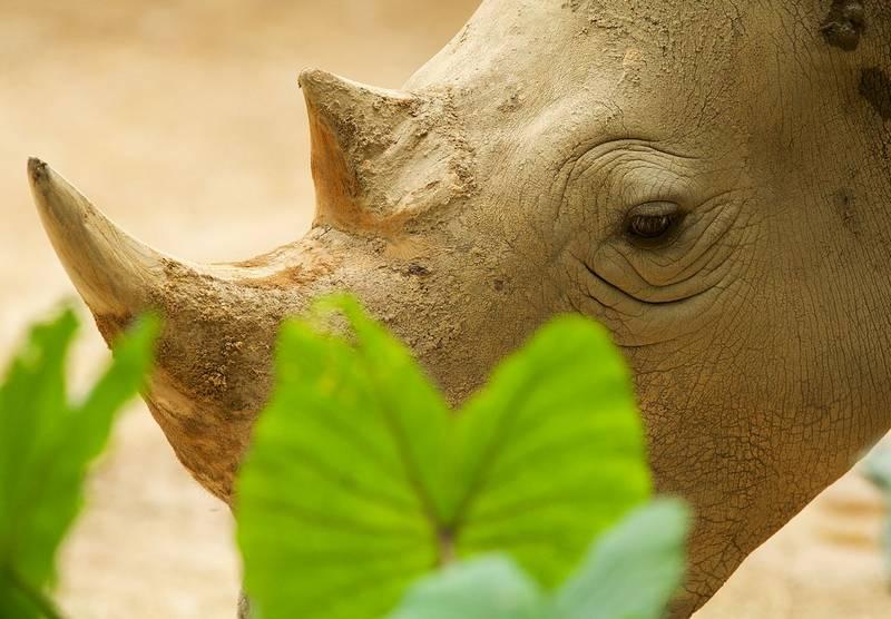 Глаза белого носорога фото