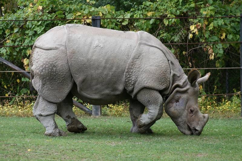 Индийский носорог фото (лат. Rhinoceros unicornis)