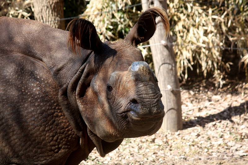 Морда индийского носорога фото (лат. Rhinoceros unicornis)