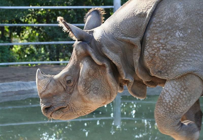 Морда индийского носорога фото