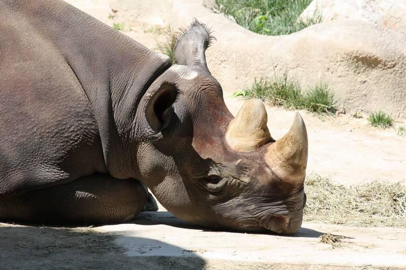 Морда черного носорога (лат. Diceros bicornis)