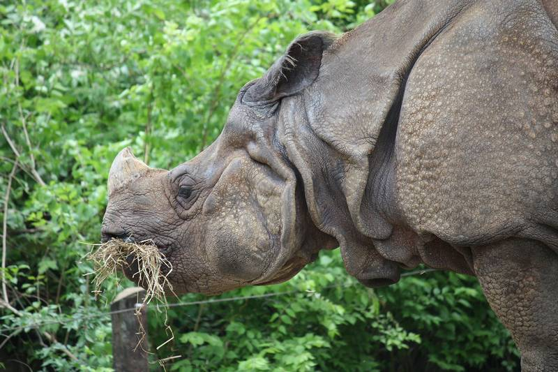 Что едят носороги фото