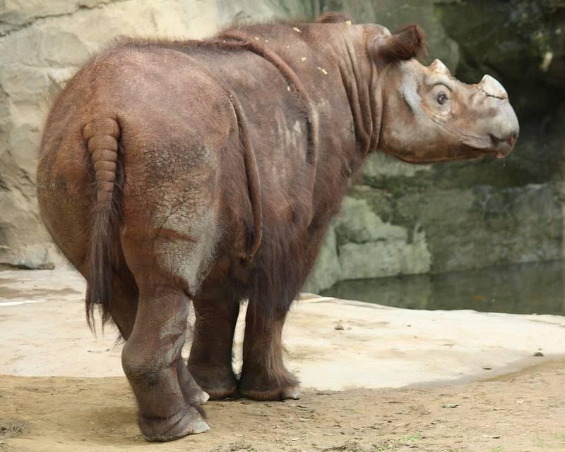 Шерсть суматранского носорога фото