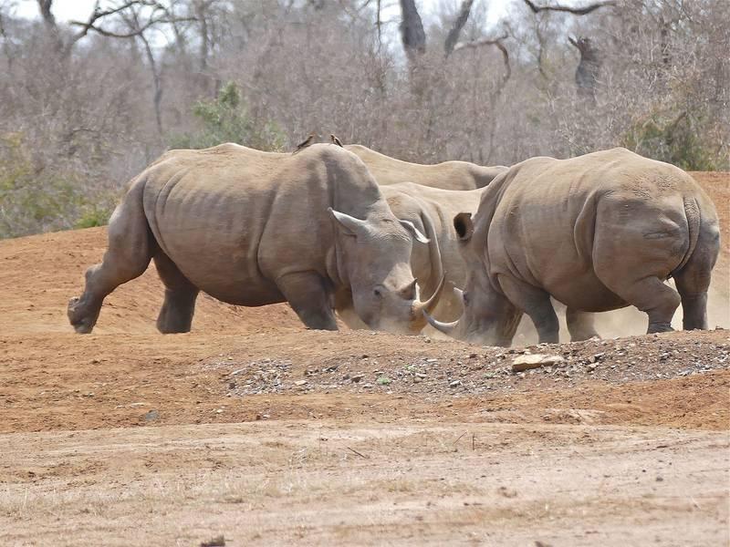 Белые носороги дерутся фото