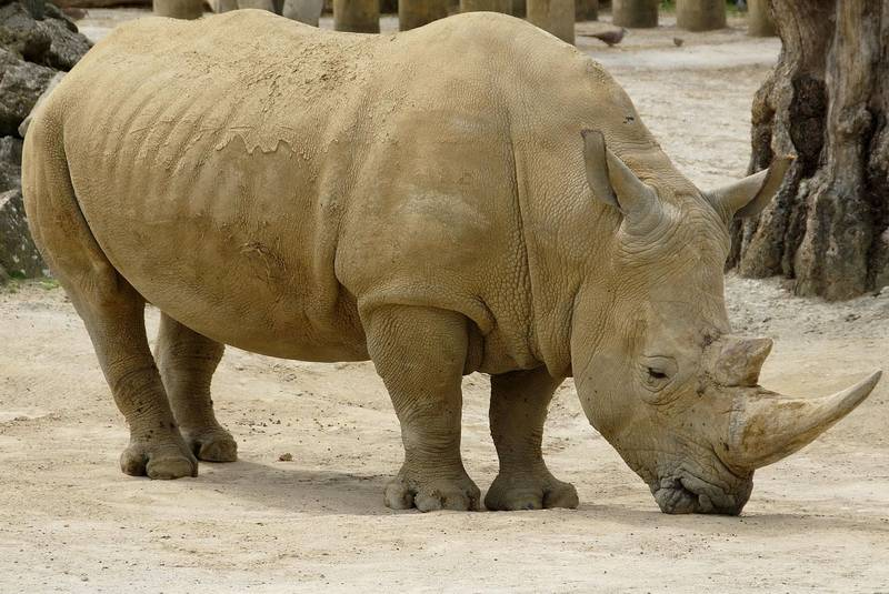Белый носорог фото (лат. Ceratotherium simum)