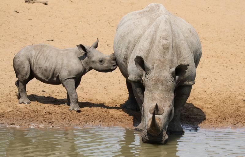 Детеныш белого носорога фото