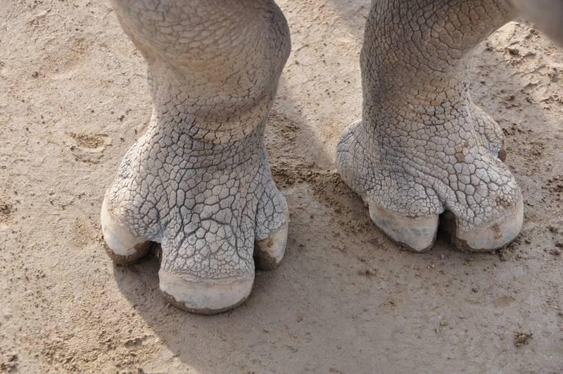 Лапы носорога фото