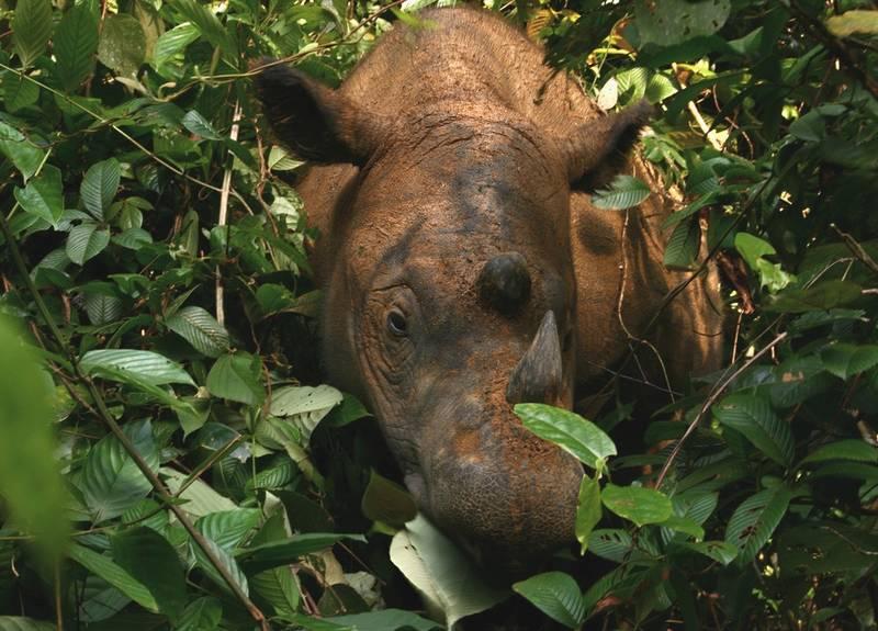 Морда панцирного носорога фото (лат. Dicerorhinus sumatrensis)