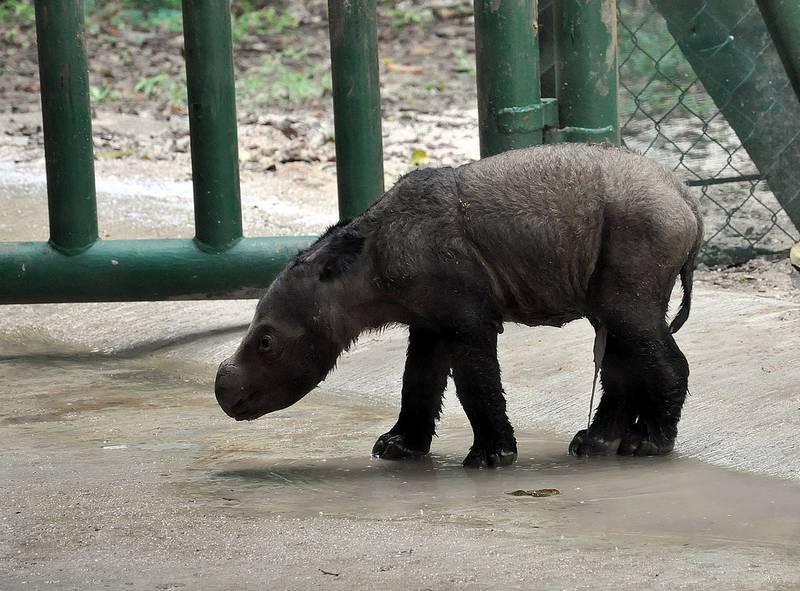 Новорожденный суматранский носорог фото