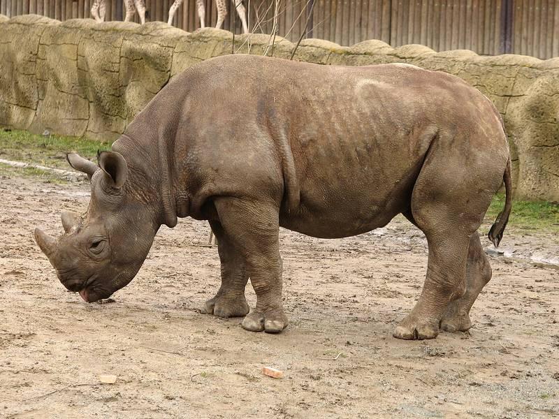 Носорог фото животного