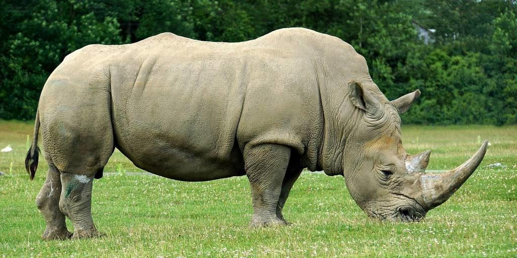 Носорог фото