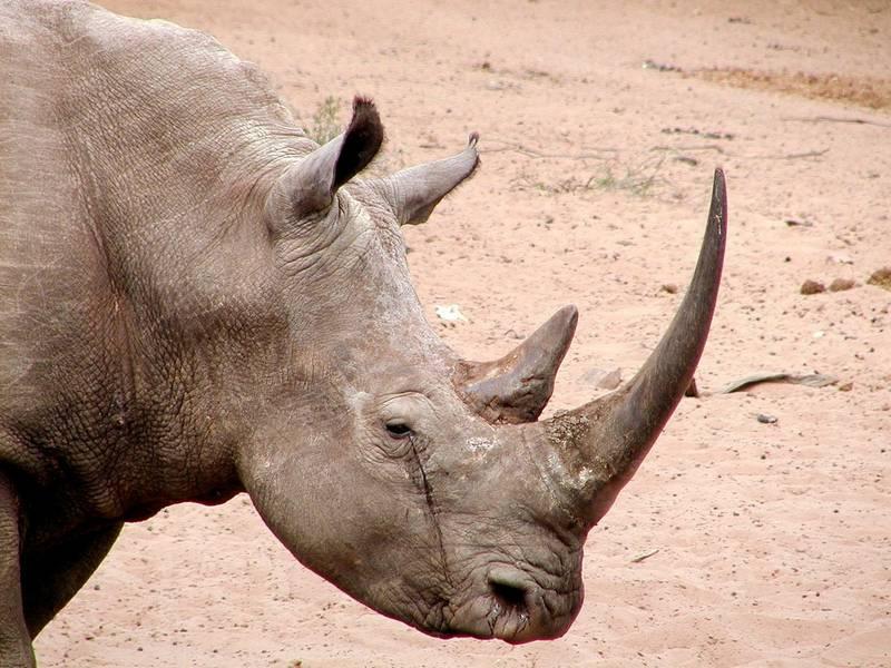 Рога белого носорога фото