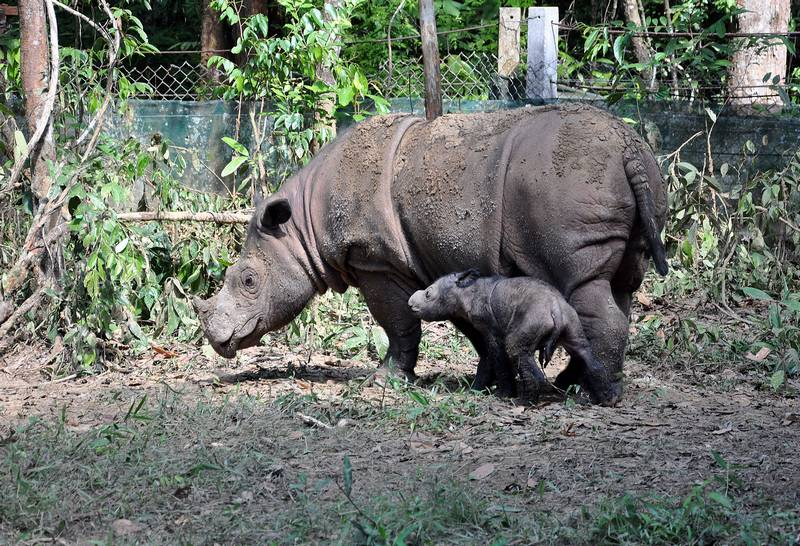 Суматранский носорог (панцирный носорог) фото (лат. Dicerorhinus sumatrensis)