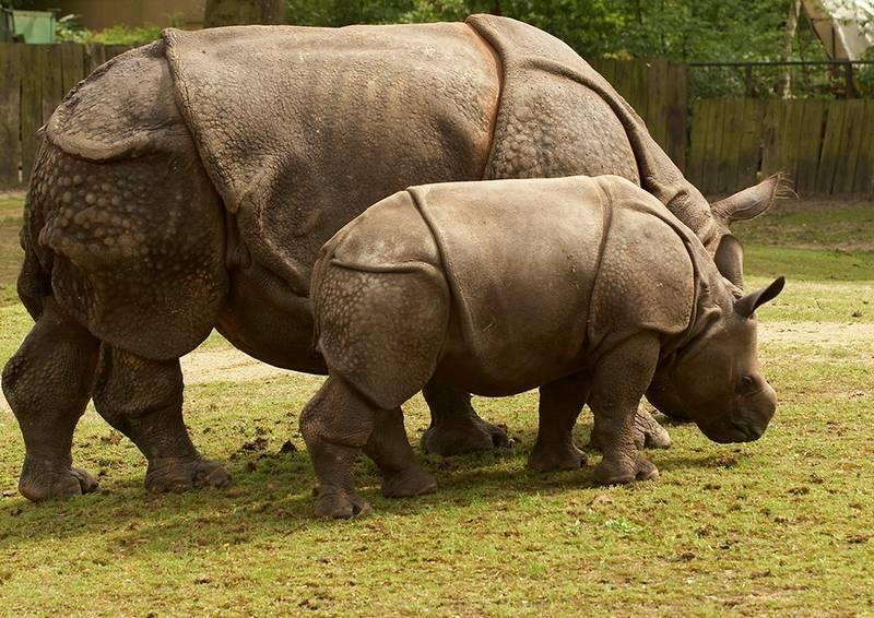 Яванский носорог фото (лат. Rhinoceros sondaicus)