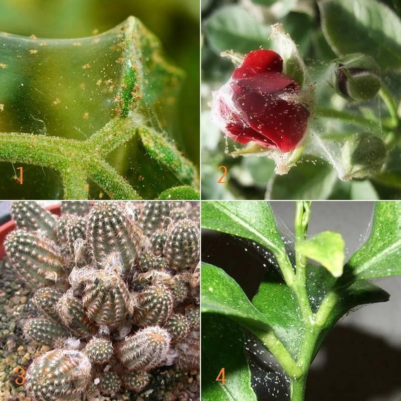 Паутинный клещ на комнатных растениях и цветах фото
