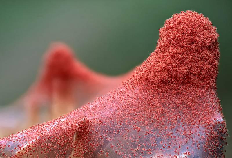 Скопление паутинных клещей Tetranychus urticae фото