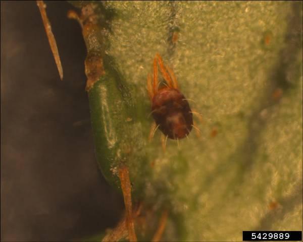 Как выглядит паутинный клещ Oligonychus ilicis фото