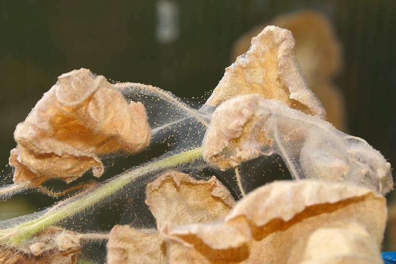 Растение, пораженное паутинным клещом фото