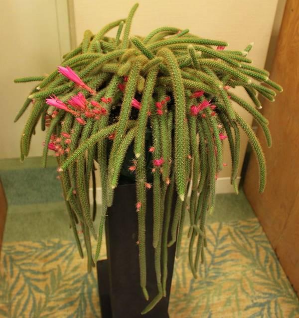 Апорокактус плетевидный (дизокактус плетевидный) фото (лат. Disocactus flagelliformis, син. Aporocactus flagelliformis)