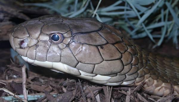 Глаза королевской кобры фото (лат. Ophiophagus hannah)