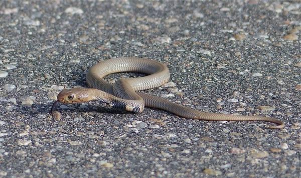 Детеныш мозамбикской кобры фото (лат. Naja mossambica)