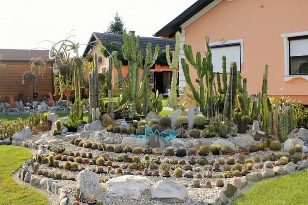 Домашние кактусы фото