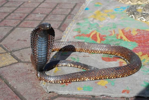 Египетская кобра (гая, настоящий аспид) фото (лат. Naja haje)