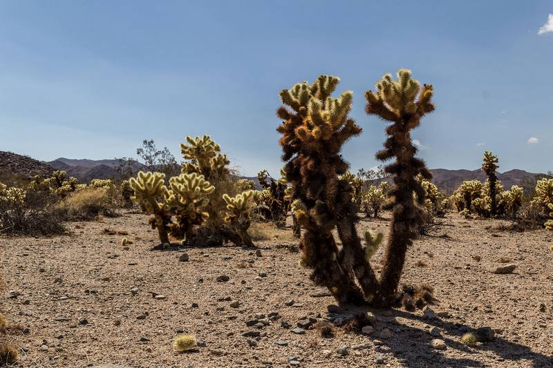 Кактусы цилиндропунции Бигелоу в пустыне фото (лат. Cylindropuntia bigelovii)