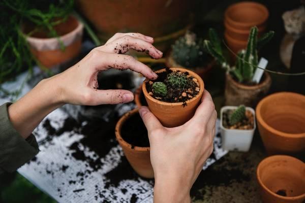 Как пересадить кактус в другой горшок в домашних условиях фото