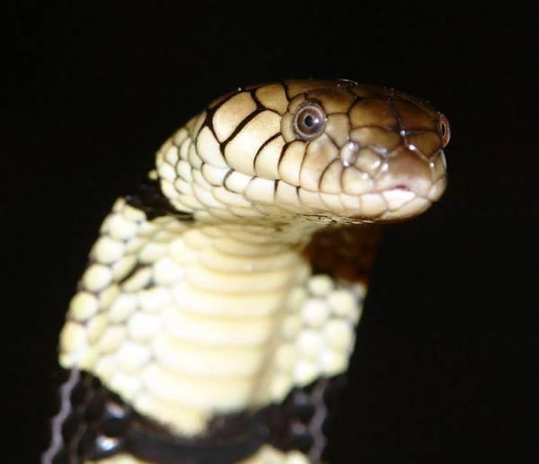 Кольчатая водяная кобра фото (лат. Naja annulata)