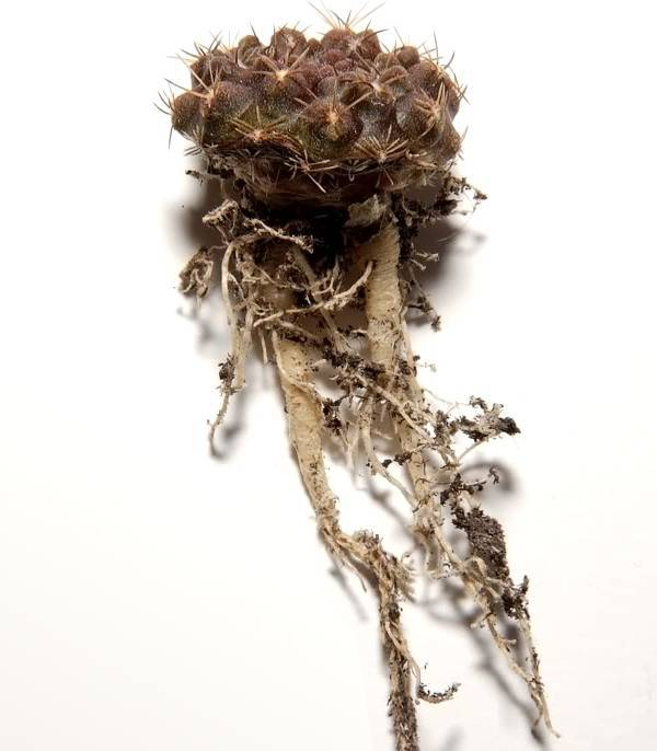 Корень кактуса Eriosyce occulta фото
