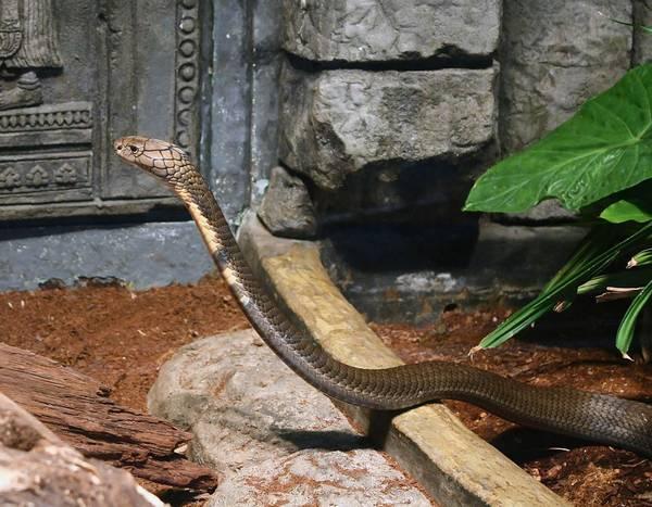 Королевская кобра фото (лат. Ophiophagus hannah)