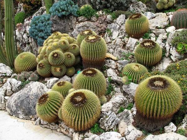 Круглые эхинокактусы Грузони (Грусони) фото (лат. Echinocactus grusonii)