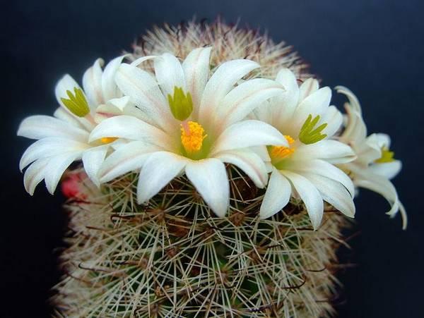 Маммиллярия Гатчисона с белыми цветами фото (лат. Mammillaria hutchisoniana)
