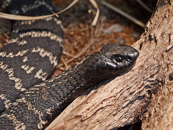 Ошейниковая кобра фото (лат. Hemachatus haemachatus)