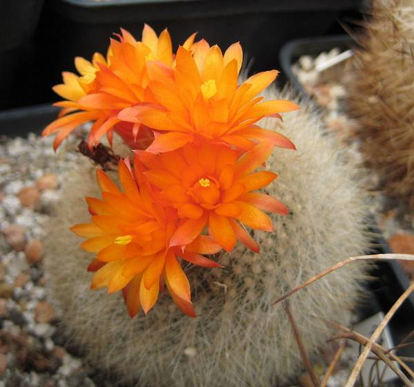 Пародия Хазельберга с оранжевыми цветами фото (лат. Parodia haselbergii)