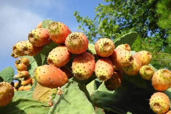 Плоды кактуса фото