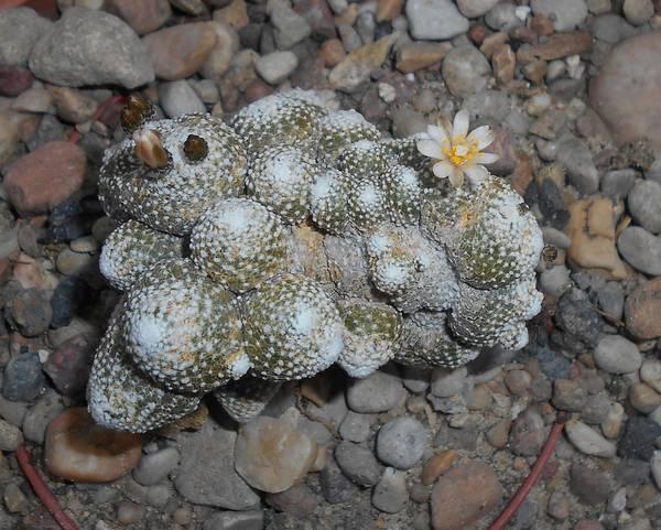Самый маленький кактус в мире блоссфельдия крошечная (лат. Blossfeldia liliputana) фото
