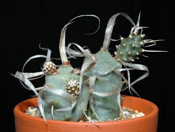Тефрокактус Tephrocactus articulatus фото