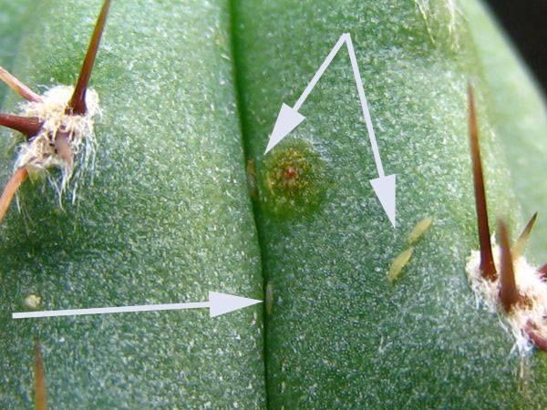 Трипсы на кактусе фото