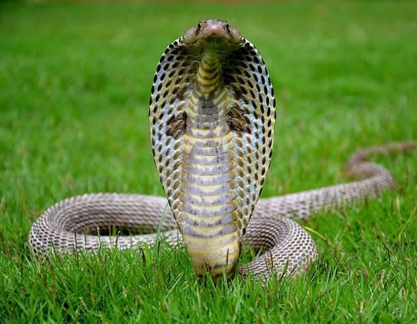 Фото очковой кобры с капюшоном (лат. Naja naja)