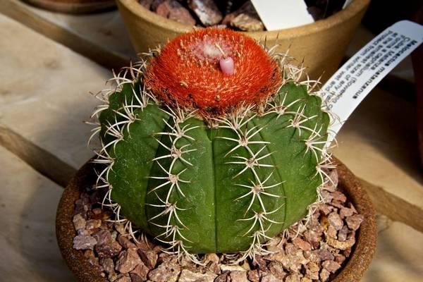 Цветение мелокактуса матанзанского фото (лат. Melocactus matanzanus)